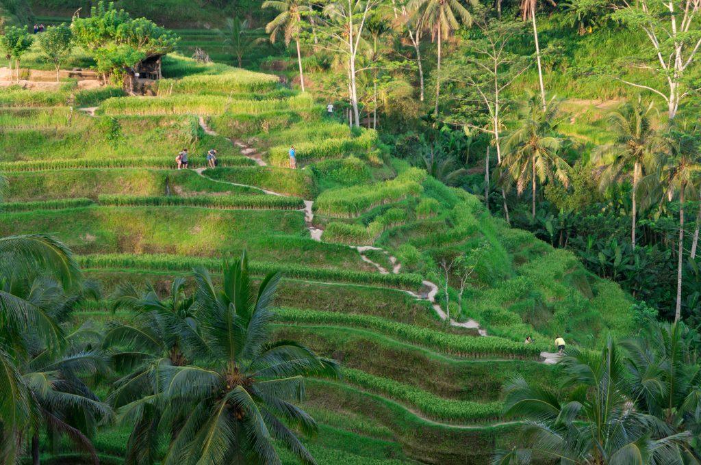 Die Tegalalang Reis-Terrassen bei Ubud
