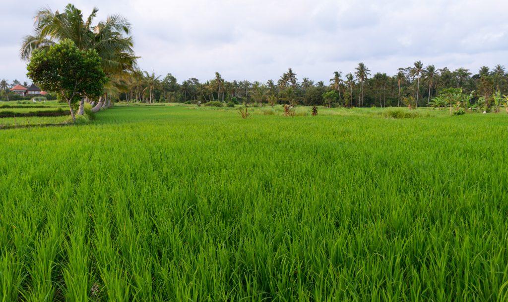 Reisfelder in Ubud (Penestanan)